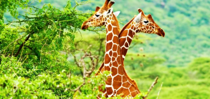 African giraffes family